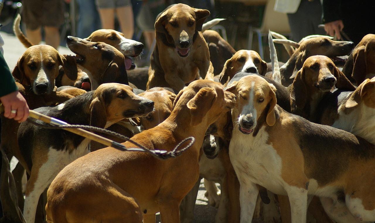 Jagdhund photo
